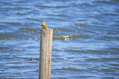 LITTLE YELLOW COLOURED WEAVER ON A POST stock photos