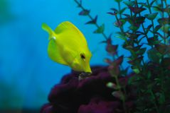 Little yellow croaker Royalty Free Stock Images