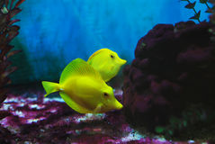 Little yellow croaker. In the fish bowl merry the little yellow croaker which tours tours Stock Photography