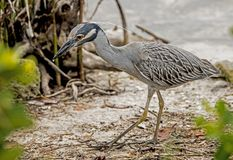 A Yellow Crowned Night Heron fishes on the side of the beach. stock image
