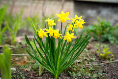 The little yellow daffodil flower Stock Images