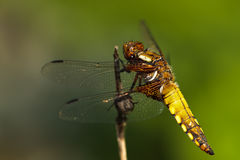 Little yellow dragonfly. Macro Picture of a yellow dragonfly in the morning sun with blurred green background Stock Photography