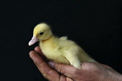 Little yellow duck. Little young yellow duck on man's hand Royalty Free Stock Image