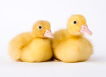 Little yellow duckling Stock Image