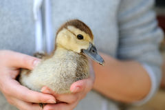 Little yellow duckling Stock Photography
