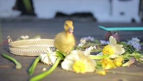 Little yellow duckling in sunlight reflexion. Little yellow duckling in the sunlight reflexion stock footage