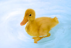 Little yellow duckling swimming Stock Photography