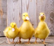 Little yellow duckling Royalty Free Stock Photography