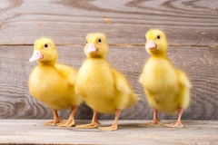 Little yellow duckling Stock Images