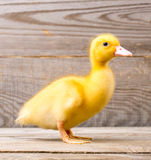 Little yellow duckling Royalty Free Stock Image