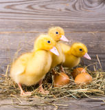 Little yellow duckling Royalty Free Stock Images