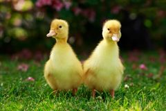 Little Yellow Ducklings Royalty Free Stock Photos