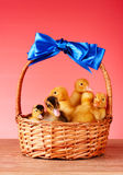 Little yellow ducklings in basket Stock Image
