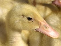 Little yellow ducklings. Little Duck and her pink beak Stock Photography