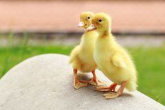 Little yellow ducklings stock photo