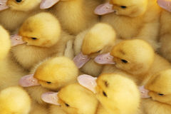Little yellow ducks. Little young yellow ducks together on crowd Royalty Free Stock Photos