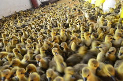 Little yellow ducks. On the farm Royalty Free Stock Photo