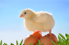 Little yellow easter chick Stock Image