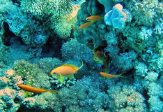 Little yellow fish swiming near corals. In deep blue ocean Stock Image