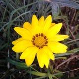 Little yellow flower. Flowers flower yellow garden autumn Stock Images