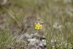 Single yellow flower on the ground. Little yellow flower in the lamar valley of Yellowstone National Park Stock Photography