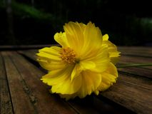 Little yellow flower lying on the bench stock images
