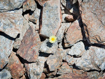 A little yellow flower rises up Stock Photos