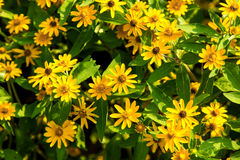 Little Yellow Flower. In tropical garden Royalty Free Stock Images