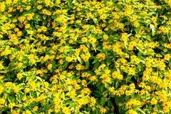 Little Yellow Flower. In tropical garden Stock Photos