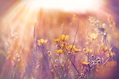 Little yellow flowers in meadow Royalty Free Stock Image