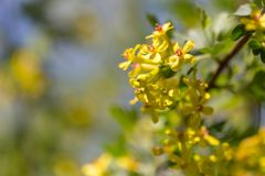 Little yellow flowers on the plant. Macro Royalty Free Stock Photos
