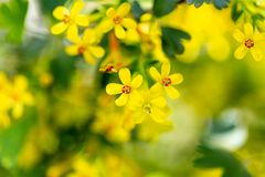 Little yellow flowers on the plant. Macro Royalty Free Stock Photography