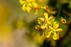 Little yellow flowers on the plant Royalty Free Stock Photos