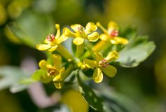 Little yellow flowers on the plant. Macro Royalty Free Stock Images