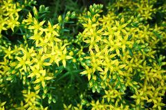 Little Yellow Flowers Stock Photo