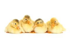 Little yellow fluffy ducklings Stock Photos