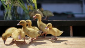Little yellow funny duckling and summer flower bouquet stock footage