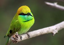 Little yellow and green Bee-eater Merops boehmi sitting on a bare branch in Yala NP, Sri Lanka stock photo