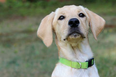Little Yellow Lab Puppy Royalty Free Stock Image