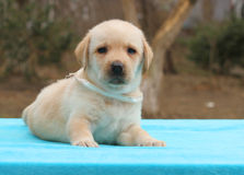 A little yellow labrador puppy laying on blue background Royalty Free Stock Images
