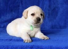 Little yellow labrador puppy laying on blue background Stock Photo