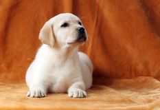 A little yellow labrador puppy on orange background Royalty Free Stock Images