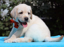 Little yellow labrador puppy portrait on blue Royalty Free Stock Photos