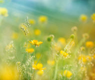 Little yellow meadow flowers Royalty Free Stock Photography