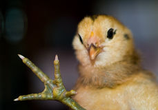 Little yellow and orange fuzzy chick Stock Photography
