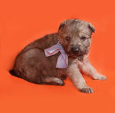 Little yellow puppy in bow tie lying on orange Royalty Free Stock Images