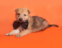 Little yellow puppy in bow tie lying on orange Stock Photography