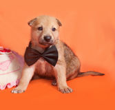 Little yellow puppy in bow tie lying on orange Royalty Free Stock Photos