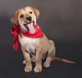 Little yellow puppy in red bandana sitting on gray Royalty Free Stock Image