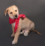 Little yellow puppy in red bandana sitting on gray Royalty Free Stock Photo